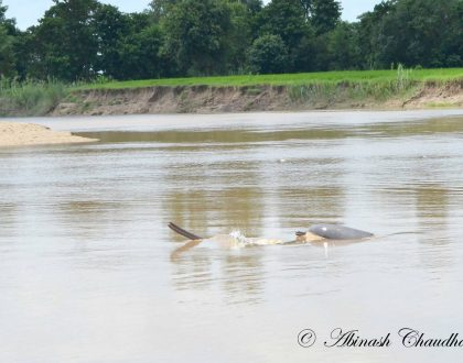Concerns Over the Recent Integrated Dolphin Survey in Nepal