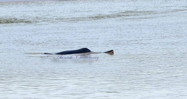 Gangetic dolphin in Mohana river